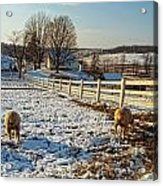 Woolly Butts Acrylic Print