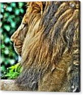 Woolly Mane Of The King   Acrylic Print