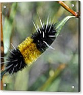 Woolly Worm In Yellowstone National Park Acrylic Print