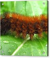 Wooly Bear  Acrylic Print by Joshua Bales