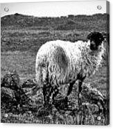 Wooly Goat Acrylic Print