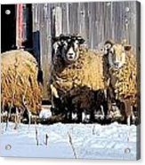 Wooly Sheep In Winter Acrylic Print