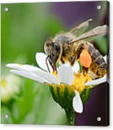 Working Bee Acrylic Print by Ivelin Donchev