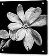 Wounded White Magnolia Wide Version Black And White Acrylic Print