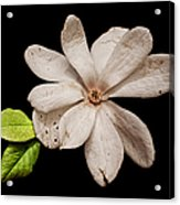 Wounded White Magnolia Wide Version Acrylic Print