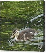 Wye Dale Duckling Acrylic Print