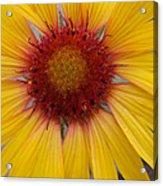 Wyoming Sunflower Acrylic Print