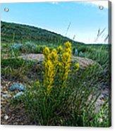 Wyoming Wildflowers Indian Paintflowers Acrylic Print