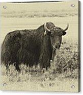 Yaks...the Official Animal Of Tibet Acrylic Print