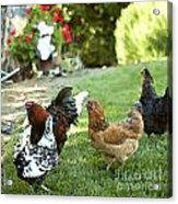 Yard Party With The Chickens Acrylic Print