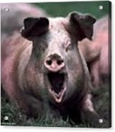 Yawn No I Am Not Ready For Bacon Yet Acrylic Print