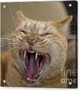 Yawning Cat Acrylic Print