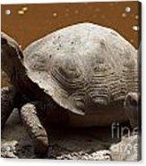 yawning juvenile Galapagos Giant Tortoise Acrylic Print