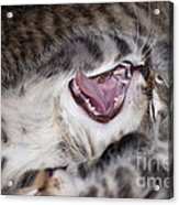 Yawning Kitten Acrylic Print