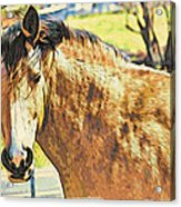 Yeller Horse Acrylic Print