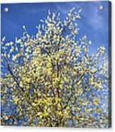 Yellow And Blue - Blooming Tree In Spring Acrylic Print