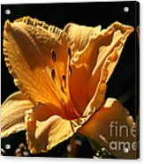 Yellow And Cream Day Lily Acrylic Print