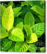 Yellow And Green Leaves Acrylic Print