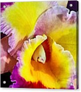 Yellow And Magenta Cattleya Orchid Acrylic Print
