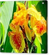 Yellow And Orange Canna Lily Acrylic Print
