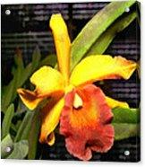 Yellow And Orange Cattleya In The Hothouse Acrylic Print