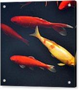 Yellow And Orange Koi Swimming Acrylic Print