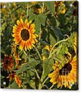 Yellow And Orange Sunflowers Acrylic Print