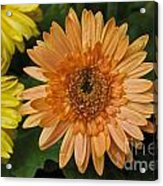 Yellow And Peach Daisy Acrylic Print