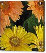 Yellow And Peach Acrylic Print