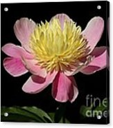 Yellow And Pink Peony Acrylic Print
