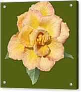 Yellow And Pink Rose Acrylic Print