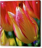 Yellow And Pink Tulips Acrylic Print
