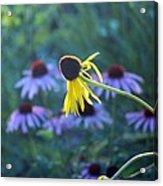 Yellow  And Purple Coneflowers Acrylic Print