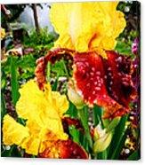 Yellow And Purple Iris Acrylic Print