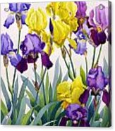 Yellow And Purple Irises Acrylic Print