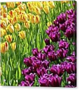 Yellow And Purple Tulips Acrylic Print