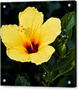 Yellow And Red Hibiscus Acrylic Print