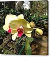 Yellow And Red Orchid Acrylic Print