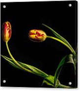 Yellow And Red Tulips On Black - Reaching Out Acrylic Print