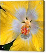 Yellow And White Hibiscus Acrylic Print