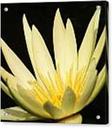 Yellow And Yellow Waterlily...   # Acrylic Print