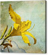 Yellow Asiatic Lilly Iv Acrylic Print