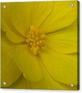 Yellow Begonia Acrylic Print