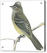 Yellow Bellied Elaenia  Acrylic Print by Anonymous