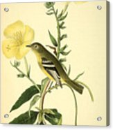 Yellow-bellied Flycatcher Acrylic Print by Philip Ralley
