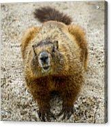 Yellow-bellied Marmot   #5300 Acrylic Print