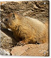 Yellow Bellied Marmot Checking Out The Neighborhood In Rocky Mountain National Park Acrylic Print