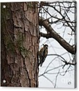 Yellow Bellied Sapsucker In The Pine Acrylic Print