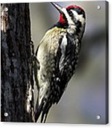 Yellow Bellied Sapsucker Acrylic Print