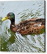 Yellow Billed Duck Acrylic Print
